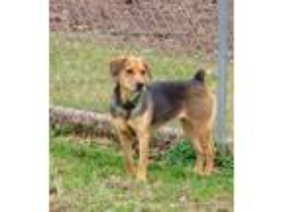 Adopt Rolo a Brown/Chocolate Shepherd (Unknown Type) / Mixed dog in Bardstown