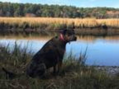 Adopt Riley Mae - MA a Red/Golden/Orange/Chestnut Catahoula Leopard Dog / Mixed