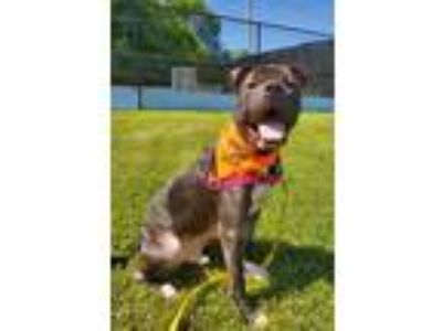 Adopt Charlie a American Pit Bull Terrier / Shar Pei / Mixed dog in Pittsburgh