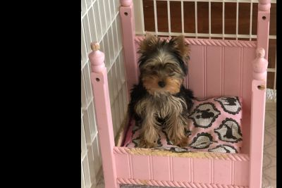 Yorkshire Terrier Puppies  1 Male Available
