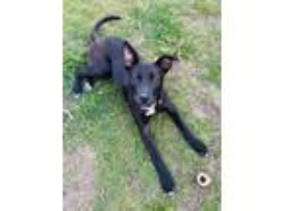 Adopt Ally a Black - with White Labrador Retriever / Mixed dog in MARYSVILLE