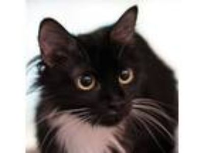 Adopt Puma a Domestic Long Hair, Domestic Short Hair