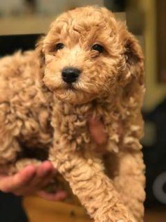 Poodle (Miniature) PUPPY FOR SALE ADN-105527 - Charming Mini poodle