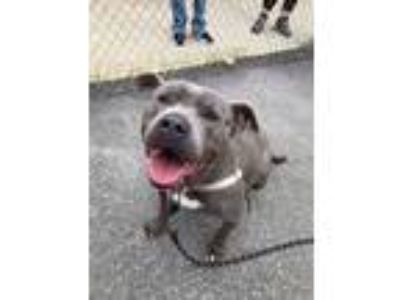 Adopt Blue a Gray/Blue/Silver/Salt & Pepper Pit Bull Terrier / Mixed dog in
