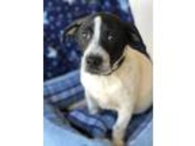 Adopt Nickolas a White - with Black Jack Russell Terrier / Hound (Unknown Type)