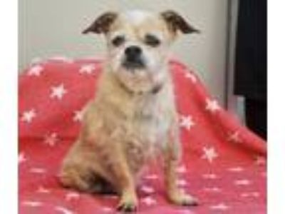 Adopt Frank a Tan/Yellow/Fawn - with Black Brussels Griffon / Mixed dog in Los
