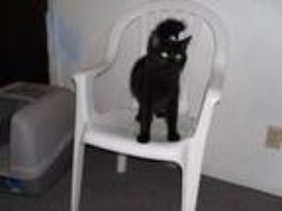 Adopt James-Michael A Big Black Cat a All Black Domestic Longhair (long coat)