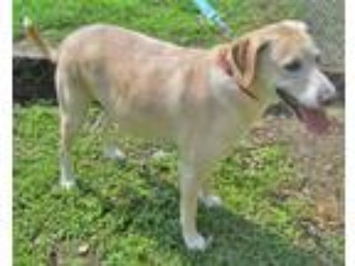 Adopt Parker a Tan/Yellow/Fawn - with White Labrador Retriever / Mixed dog in