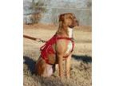 Adopt Reese a Labrador Retriever, American Staffordshire Terrier