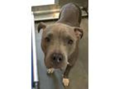 Adopt Misty a American Pit Bull Terrier / Mixed dog in Pittsburgh, PA (25909665)