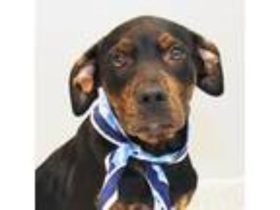 Adopt Alex Paw-bek a Black Mixed Breed (Large) / Mixed dog in Lansing