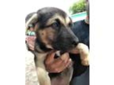 Adopt Blondie FFTR a German Shepherd Dog, Labrador Retriever
