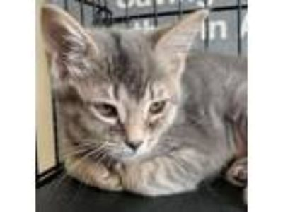 Adopt Barley a Domestic Short Hair