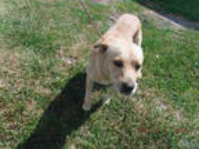 Adopt LUKE a Brown/Chocolate - with White Labrador Retriever / Mixed dog in