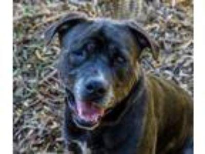 Adopt Lucky a Pit Bull Terrier, Labrador Retriever
