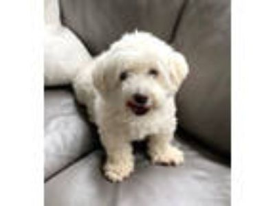 Adopt Max in PA a Havanese