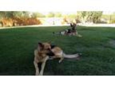 Adopt Wolfgang a Black - with Tan, Yellow or Fawn German Shepherd Dog / German