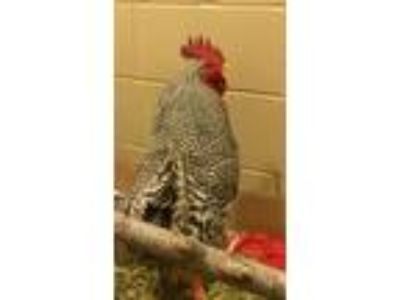 Adopt Nati a Chicken bird in Escondido, CA (25347202)