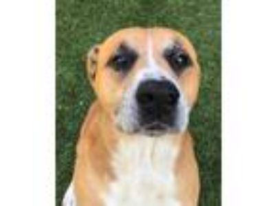 Adopt LEO a American Staffordshire Terrier