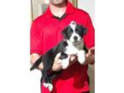 Adopt Ranger a Black - with White Border Collie / Australian Shepherd / Mixed
