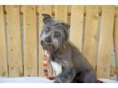 Adopt Harry a Gray/Silver/Salt & Pepper - with White Chinese Crested / Terrier