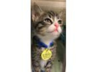 Adopt Tucker a Gray or Blue Domestic Shorthair / Domestic Shorthair / Mixed cat