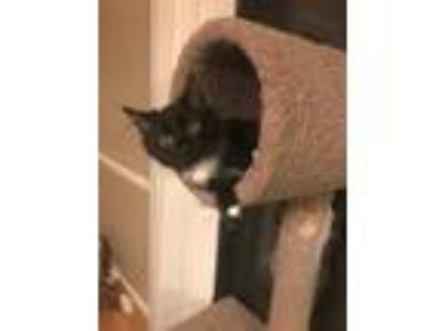 Adopt Ricky Bobbie a Black & White or Tuxedo Domestic Shorthair (short coat) cat