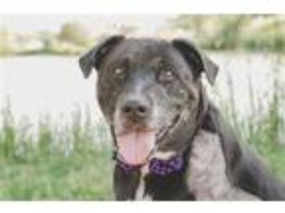 Adopt MIDNIGHT a Black - with White Labrador Retriever / Mixed dog in Tucson