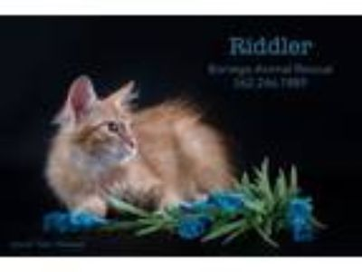 Adopt RIDDLER a Domestic Long Hair, Maine Coon