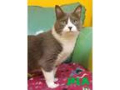 Adopt PIA a Domestic Short Hair