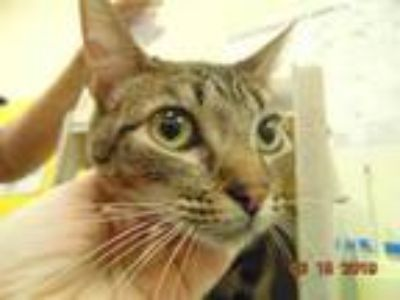 Adopt SEPTEMBER a Brown Tabby Domestic Shorthair / Mixed (short coat) cat in