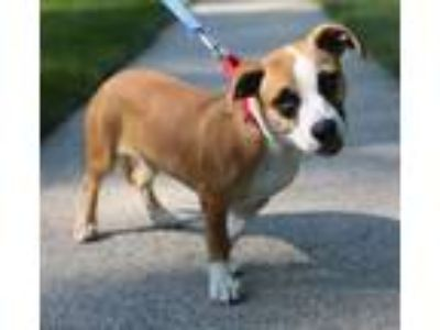 Adopt Cerise a Dachshund / Boxer / Mixed dog in Potomac, MD (25850425)