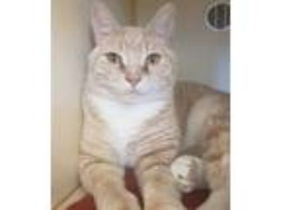 Adopt Simba a Domestic Shorthair / Mixed (short coat) cat in Pittsburgh