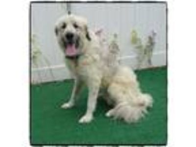 Adopt MAX a White - with Gray or Silver Great Pyrenees / Mixed dog in Marietta