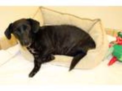 Adopt Peggy a Black - with White Dachshund / Mixed dog in Lumberton