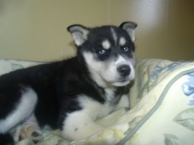 Siberian Husky PUPPY FOR SALE ADN-62675 - hades