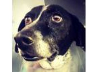 Adopt Cassie a Black - with White Hound (Unknown Type) / Mixed dog in Denton