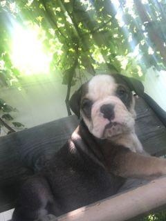 Bulldog PUPPY FOR SALE ADN-89617 - Blue tri