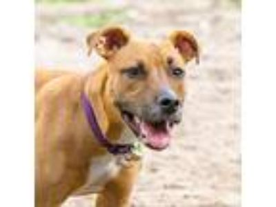 Adopt Skylar PA a Brown/Chocolate Terrier (Unknown Type, Medium) dog in