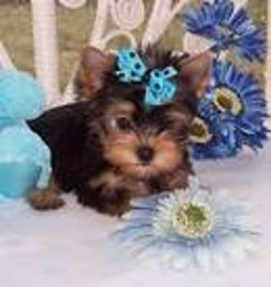 Adorable t-cup Yorkie puppies now!