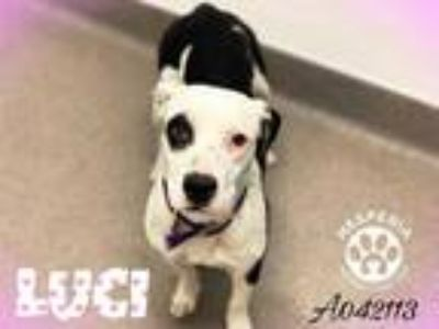 Adopt LUCI a White - with Black Dalmatian / American Pit Bull Terrier / Mixed
