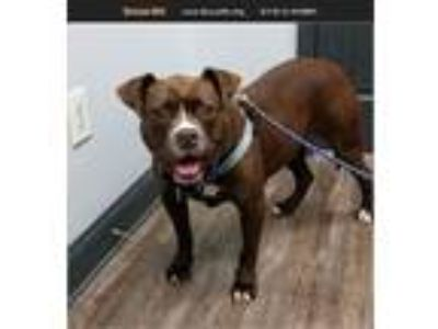 Adopt Lucy a Boxer, American Staffordshire Terrier
