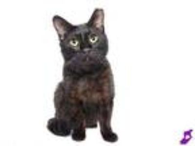Adopt SHADOW a All Black Domestic Shorthair / Mixed (short coat) cat in Murray