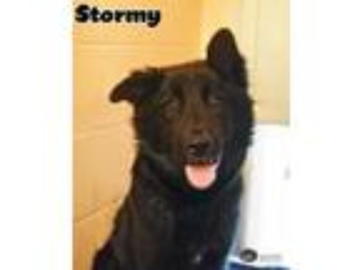 Adopt Stormy a Shepherd (Unknown Type) / Mixed dog in Gautier, MS (25294791)