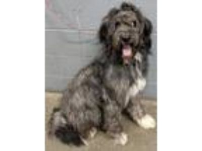 Adopt Reggie**NOT AVAILABLE UNTIL 6/27 a Bearded Collie, Standard Poodle