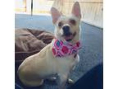 Adopt Little Maddie a Tan/Yellow/Fawn - with White Corgi / Dachshund / Mixed dog