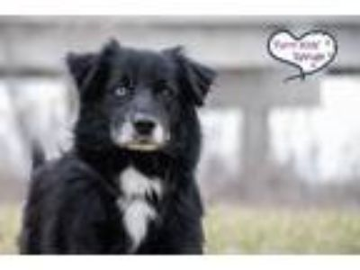 Adopt Sterling a Black - with White Australian Shepherd / Mixed dog in Lee's