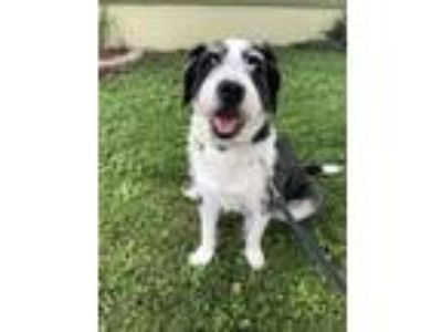 Adopt Snoopy a German Wirehaired Pointer, Border Collie