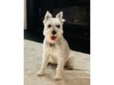 Adopt Charlie a White - with Gray or Silver Miniature Schnauzer / Mixed dog in