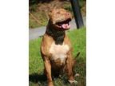 Adopt BILLY a Cane Corso, Pit Bull Terrier
